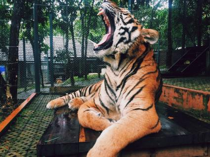 little stress busters tiger