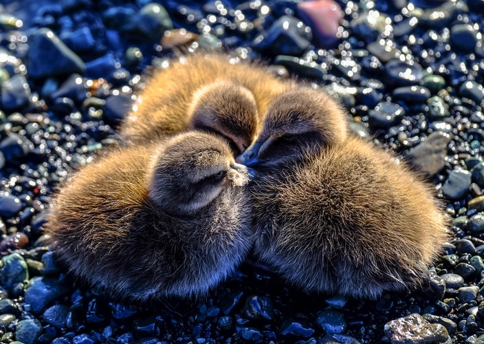 daily three dec 14 ducklings