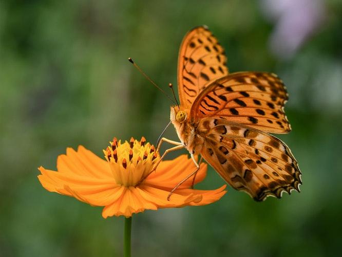 treasure butterfly cosmos flower