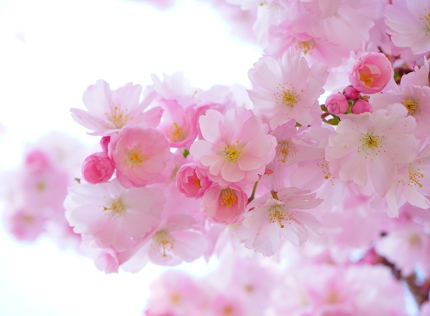 japanese-cherry-trees-