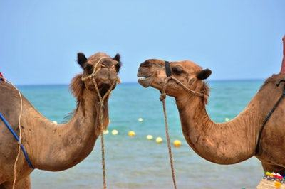 ice breakers or conversation starters two camels
