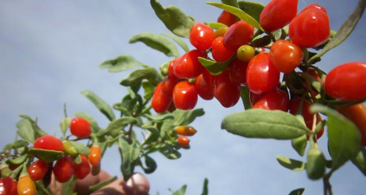goji-berries on bush