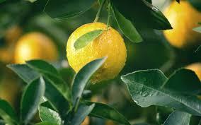 lemon on bush