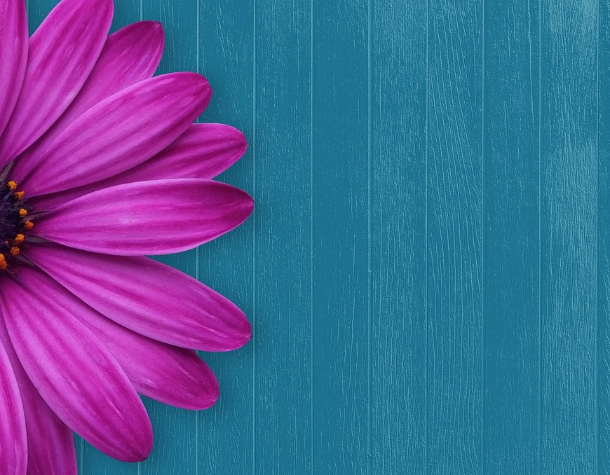 pink flower blue wood background