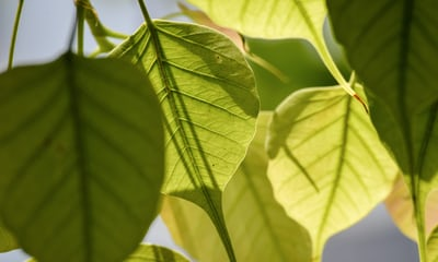 peepal leaves